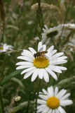 Ox-eye daisy with hoverfly Royalty Free Stock Image