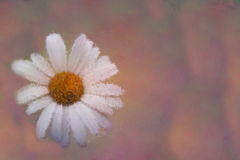 Ox eye daisy in impressionism royalty free stock images