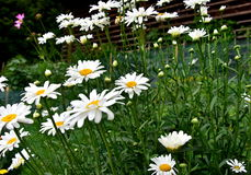 The ox-eye daisy, or oxeye daisy, Leucanthemum vulgare Royalty Free Stock Image