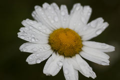 Ox-eye daisy. After rain royalty free stock photo
