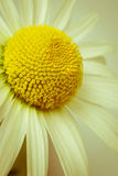 Ox-eye daisy. Simple Ox-eye daisy in retro style stock photography