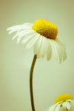 Ox-eye daisy. Simple Ox-eye daisy in retro style royalty free stock image