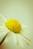 Ox-eye daisy. Simple Ox-eye daisy in retro style stock photos