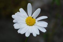 Ox-eye daisy Stock Image