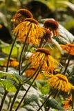 Ox-eye daisy -telekia speciosa royalty free stock images