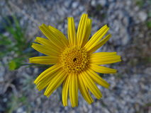 Ox-eye. In the photo is an flowering plant, ox-eye. Photo was made in summer near river Isar Vorderriß, Bavaria, Germany Stock Image