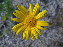 Ox-eye. In the photo is an flowering plant, ox-eye. Photo was made in summer near river Isar Vorderriß, Bavaria, Germany Royalty Free Stock Photo