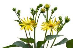 Ox-eye Wildflower Στοκ Εικόνες