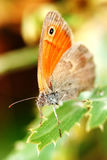 Ox-eyed butterfly Royalty Free Stock Photos