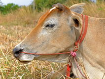 Ox. In the farm Stock Photography