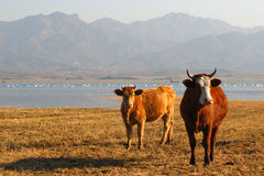 Free Ox Feeding At Lake S Edge Stock Images - 7285494