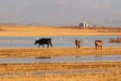 Ox feeding at lake's edge Stock Photo