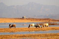 Ox feeding at lake's edge Royalty Free Stock Photo