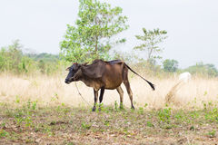 Ox in the field Royalty Free Stock Photos