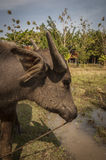 Ox in a field at he Museum of Rice in Langkawi Stock Photos