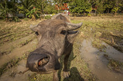 Ox in a field at he Museum of Rice in Langkawi Stock Photography