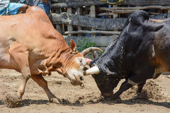 Ox fight Stock Photography