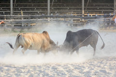 Ox fight. In NAKHON SI THAMMARAT, THAILAND Royalty Free Stock Photos