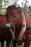 Ox with harness Stock Image