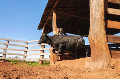 Ox jumping out of the corral Stock Photography