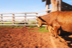 Ox jumping out of the corral Stock Photo