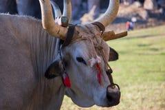 Ox maremma. Close up of Maremma Ox Stock Photos