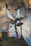 Ox maremma. In the foreground Royalty Free Stock Image
