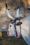 Ox maremma Royalty Free Stock Image