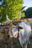 Ox maremma Royalty Free Stock Images