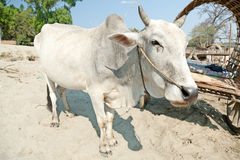 Ox in Mingun, Myanmar Stock Photography
