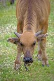 Ox is nibbling the grass on the ground. Livestock Stock Image