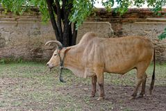 Ox is nibbling the grass on the ground. Livestock royalty free stock images