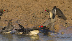 Ox-peckers bathing. Royalty Free Stock Photos