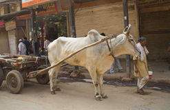 Ox pulling cart Royalty Free Stock Image