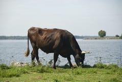Ox at rivers edge Stock Photos