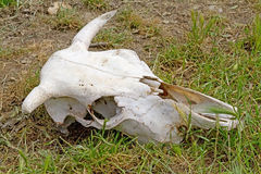 Ox Skull Stock Photos