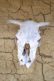 Ox skull Royalty Free Stock Images