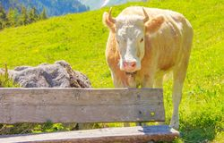 An Ox standing in grass meadow field behind the wooden bench in rural mountain area Royalty Free Stock Photo