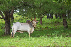 OX at thailand country. An ox (plural oxen), also known as a bullock in Australia, New Zealand and India, is a bovine trained as a draft animal. Oxen are Stock Photography