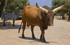 Ox of watussi Stock Photography