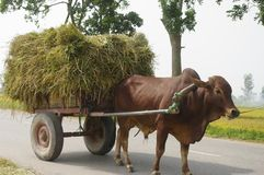 Ox yoked. To the cart laden with sheaves of rice Royalty Free Stock Photography