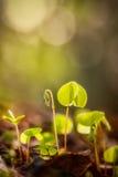 Oxalide blanche petite oseille avec la fleur Image stock
