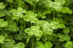 Oxalide petite oseille vert Photo stock