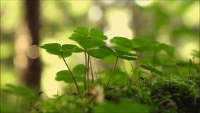 Oxalidex petite oseille dans la forêt d'été banque de vidéos