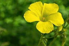 Oxalis花在庭院里 免版税库存图片