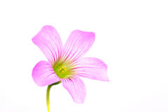 oxalis λουλουδιών corniculata Στοκ Εικόνες