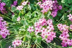 Oxalis зацветая летом стоковое фото