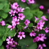 OXALIS Stock Photos