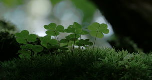An Oxalis acestosella plant on a mystic forest 4K FS700 Odyssey 7Q stock video footage