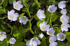 Oxalis acetosella Royalty Free Stock Images